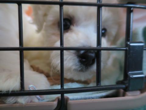 ビションフリーゼ子犬フントヒュッテこいぬ家族募集里親関東_7.jpg