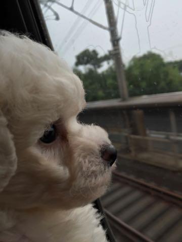 ビションフリーゼ子犬フントヒュッテこいぬ家族募集里親関東_12.jpg