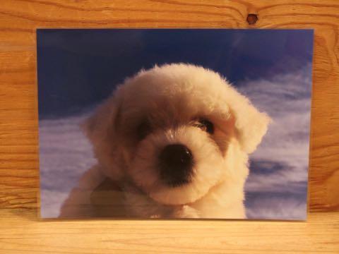 ビションフリーゼ子犬フントヒュッテこいぬ家族募集里親関東_3334.jpg