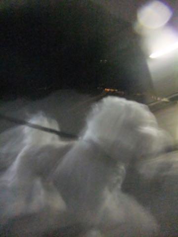 ビションフリーゼトリミング文京区フントヒュッテ駒込hundehutteビションフリーゼカット画像ビションカット都内ペットホテル料金東京犬温泉効果_42.jpg