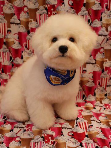 ビションフリーゼトリミング文京区フントヒュッテ駒込ビションフリーゼカット画像ビションフリーゼこいぬ子犬初めてのカット画像_1.jpg