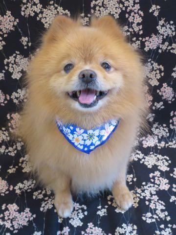 ミックス犬トリミング東京ポメラニアンとチワワのミックス犬画像ミックス犬トリミング料金文京区フントヒュッテ駒込サマーカットポメチワミックス犬_1.jpg