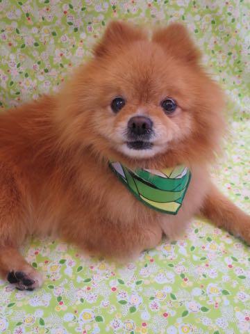 ミックス犬トリミング東京ポメラニアンとチワワのミックス犬画像ミックス犬トリミング料金文京区フントヒュッテ駒込サマーカットポメチワミックス犬_2.jpg