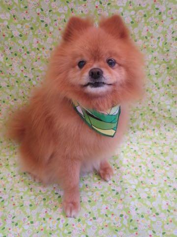 ミックス犬トリミング東京ポメラニアンとチワワのミックス犬画像ミックス犬トリミング料金文京区フントヒュッテ駒込サマーカットポメチワミックス犬_3.jpg