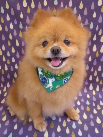 ミックス犬トリミング東京ポメラニアンとチワワのミックス犬画像ミックス犬トリミング料金文京区フントヒュッテ駒込サマーカットポメチワミックス犬_4.jpg