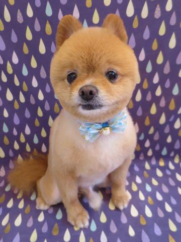 ミックス犬トリミング東京ポメラニアンとチワワのミックス犬画像ミックス犬トリミング料金文京区フントヒュッテ駒込サマーカットポメチワミックス犬_5.jpg