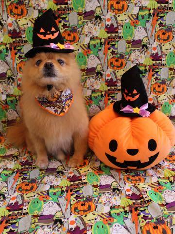 ミックス犬トリミング東京ポメラニアンとチワワのミックス犬画像ミックス犬トリミング料金文京区フントヒュッテ駒込サマーカットポメチワミックス犬_10.jpg