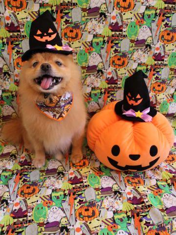 ミックス犬トリミング東京ポメラニアンとチワワのミックス犬画像ミックス犬トリミング料金文京区フントヒュッテ駒込サマーカットポメチワミックス犬_11.jpg