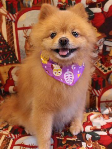 ミックス犬トリミング東京ポメラニアンとチワワのミックス犬画像ミックス犬トリミング料金文京区フントヒュッテ駒込サマーカットポメチワミックス犬_12.jpg
