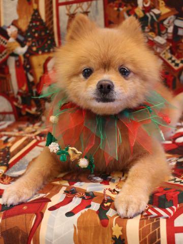 ミックス犬トリミング東京ポメラニアンとチワワのミックス犬画像ミックス犬トリミング料金文京区フントヒュッテ駒込サマーカットポメチワミックス犬_13.jpg