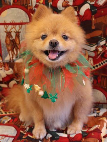 ミックス犬トリミング東京ポメラニアンとチワワのミックス犬画像ミックス犬トリミング料金文京区フントヒュッテ駒込サマーカットポメチワミックス犬_14.jpg