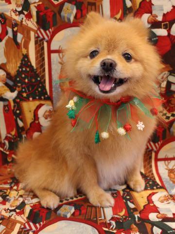 ミックス犬トリミング東京ポメラニアンとチワワのミックス犬画像ミックス犬トリミング料金文京区フントヒュッテ駒込サマーカットポメチワミックス犬_15.jpg