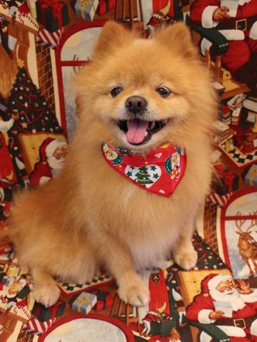 ミックス犬トリミング東京ポメラニアンとチワワのミックス犬画像ミックス犬トリミング料金文京区フントヒュッテ駒込サマーカットポメチワミックス犬_16.jpg