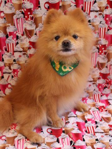 ミックス犬トリミング東京ポメラニアンとチワワのミックス犬画像ミックス犬トリミング料金文京区フントヒュッテ駒込サマーカットポメチワミックス犬_18.jpg