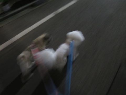 パグトリミング画像フントヒュッテ文京区ペットホテル様子おさんぽ犬おあずかり東京パグ夏短頭種とは鼻ぺちゃ犬パグ性格特徴色Pug_10.jpg