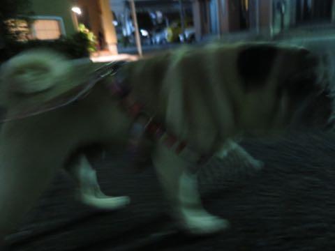 パグトリミング画像フントヒュッテ文京区ペットホテル様子おさんぽ犬おあずかり東京パグ夏短頭種とは鼻ぺちゃ犬パグ性格特徴色Pug_11.jpg