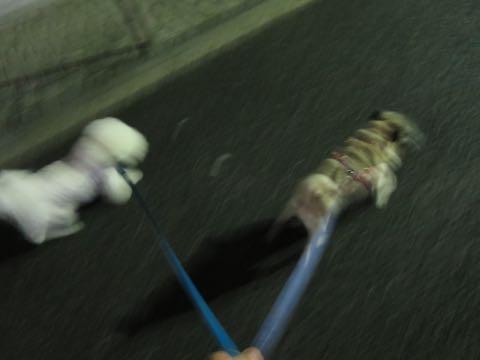 パグトリミング画像フントヒュッテ文京区ペットホテル様子おさんぽ犬おあずかり東京パグ夏短頭種とは鼻ぺちゃ犬パグ性格特徴色Pug_12.jpg