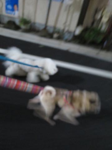 パグトリミング画像フントヒュッテ文京区ペットホテル様子おさんぽ犬おあずかり東京パグ夏短頭種とは鼻ぺちゃ犬パグ性格特徴色Pug_13.jpg