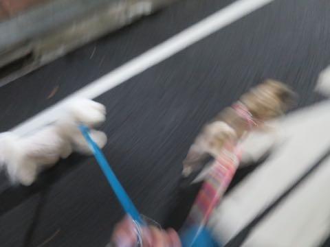 パグトリミング画像フントヒュッテ文京区ペットホテル様子おさんぽ犬おあずかり東京パグ夏短頭種とは鼻ぺちゃ犬パグ性格特徴色Pug_14.jpg