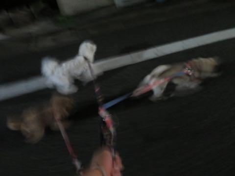 パグトリミング画像フントヒュッテ文京区ペットホテル様子おさんぽ犬おあずかり東京パグ夏短頭種とは鼻ぺちゃ犬パグ性格特徴色Pug_55.jpg