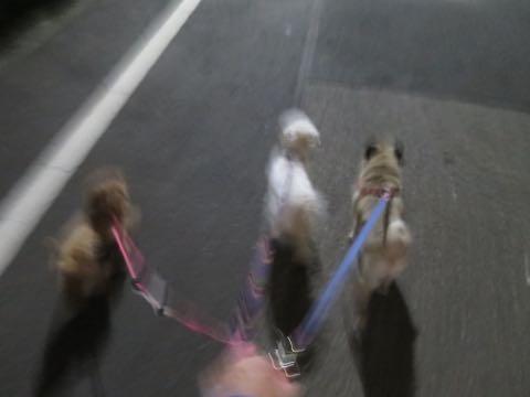 パグトリミング画像フントヒュッテ文京区ペットホテル様子おさんぽ犬おあずかり東京パグ夏短頭種とは鼻ぺちゃ犬パグ性格特徴色Pug_58.jpg