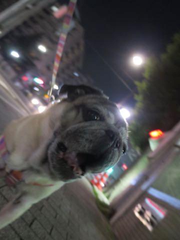 パグトリミング画像フントヒュッテ文京区ペットホテル様子おさんぽ犬おあずかり東京パグ夏短頭種とは鼻ぺちゃ犬パグ性格特徴色Pug_78.jpg