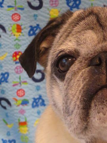 パグトリミング画像フントヒュッテ文京区ペットホテル様子おさんぽ犬おあずかり東京パグ夏短頭種とは鼻ぺちゃ犬パグ性格特徴色Pug_82.jpg