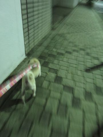 パグトリミング画像フントヒュッテ文京区ペットホテル様子おさんぽ犬おあずかり東京パグ夏短頭種とは鼻ぺちゃ犬パグ性格特徴色Pug_84.jpg