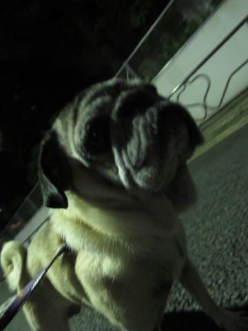 パグトリミング画像フントヒュッテ文京区ペットホテル様子おさんぽ犬おあずかり東京パグ夏短頭種とは鼻ぺちゃ犬パグ性格特徴色Pug_88.jpg
