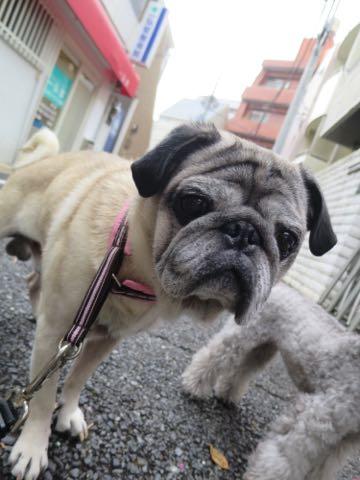 パグトリミング画像フントヒュッテ文京区ペットホテル様子おさんぽ犬おあずかり東京パグ夏短頭種とは鼻ぺちゃ犬パグ性格特徴色Pug_90.jpg