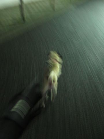 パグトリミング画像フントヒュッテ文京区ペットホテル様子おさんぽ犬おあずかり東京パグ夏短頭種とは鼻ぺちゃ犬パグ性格特徴色Pug_92.jpg