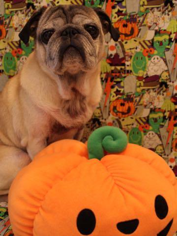 パグトリミング画像フントヒュッテ文京区ペットホテル様子おさんぽ犬おあずかり東京パグ夏短頭種とは鼻ぺちゃ犬パグ性格特徴色Pug_98.jpg