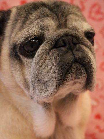 パグトリミング画像フントヒュッテ文京区ペットホテル様子おさんぽ犬おあずかり東京パグ夏短頭種とは鼻ぺちゃ犬パグ性格特徴色Pug_102.jpg