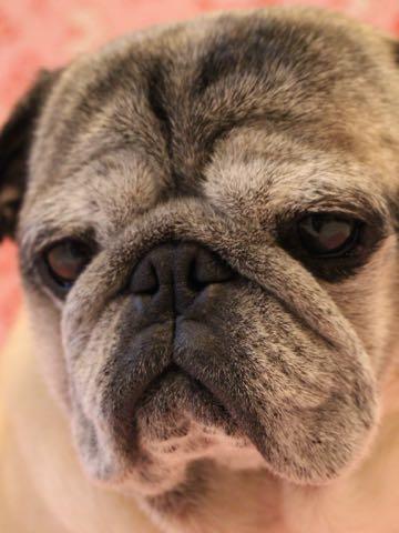 パグトリミング画像フントヒュッテ文京区ペットホテル様子おさんぽ犬おあずかり東京パグ夏短頭種とは鼻ぺちゃ犬パグ性格特徴色Pug_103.jpg