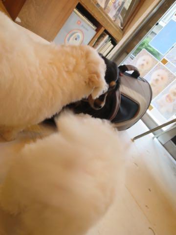 ダックスペットホテル様子おさんぽ犬おあずかり文京区フントヒュッテ東京ダックストリミング画像都内ペットホテル駒込カニヘンダックスカニンヘンダックス_6.jpg
