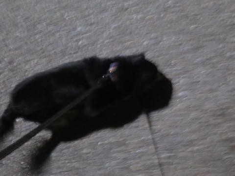 ダックスペットホテル様子おさんぽ犬おあずかり文京区フントヒュッテ東京ダックストリミング画像都内ペットホテル駒込カニヘンダックスカニンヘンダックス_45.jpg