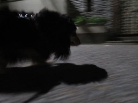 ダックスペットホテル様子おさんぽ犬おあずかり文京区フントヒュッテ東京ダックストリミング画像都内ペットホテル駒込カニヘンダックスカニンヘンダックス_46.jpg