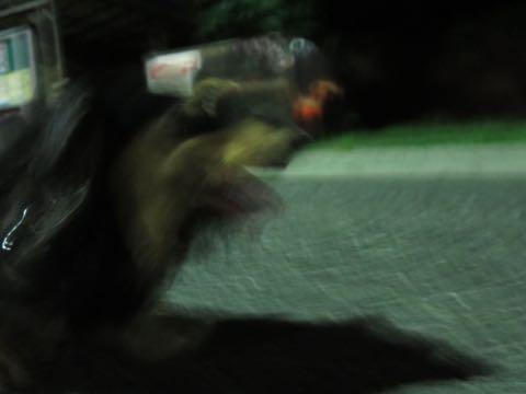 ダックスペットホテル様子おさんぽ犬おあずかり文京区フントヒュッテ東京ダックストリミング画像都内ペットホテル駒込カニヘンダックスカニンヘンダックス_48.jpg