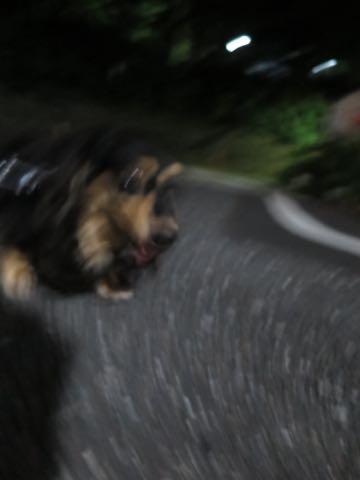 ダックスペットホテル様子おさんぽ犬おあずかり文京区フントヒュッテ東京ダックストリミング画像都内ペットホテル駒込カニヘンダックスカニンヘンダックス_53.jpg