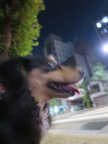 ダックスペットホテル様子おさんぽ犬おあずかり文京区フントヒュッテ東京ダックストリミング画像都内ペットホテル駒込カニヘンダックスカニンヘンダックス_63.jpg