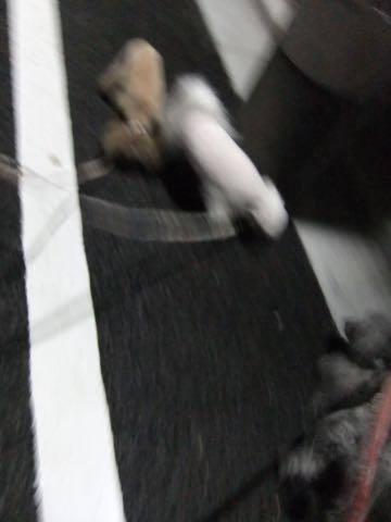 トイプードルトリミング都内フントヒュッテ駒込トイプーカット画像文京区犬歯磨き歯垢歯石除去ゼオライトデンタルケア東京ペットホテル犬ハーブパック効果_187.jpg