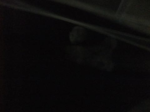 トイプードルトリミング都内フントヒュッテ駒込トイプーカット画像文京区犬歯磨き歯垢歯石除去ゼオライトデンタルケア東京ペットホテル犬ハーブパック効果_189.jpg