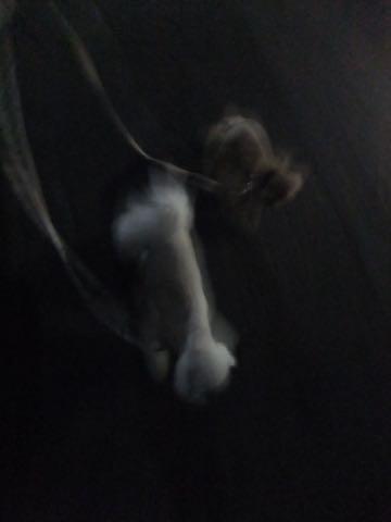 トイ・プードル極小サイズティーカッププードル東京トイプードルトリミング画像フントヒュッテ駒込ビションフリーゼトリミング文京区ペットホテル都内_150.jpg