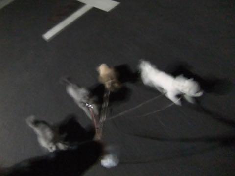 トイ・プードル極小サイズティーカッププードル東京トイプードルトリミング画像フントヒュッテ駒込ビションフリーゼトリミング文京区ペットホテル都内_154.jpg