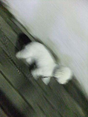 トイ・プードルペットホテル様子おさんぽ犬おあずかり文京区フントヒュッテ東京トイプードルトリミング画像都内ペットホテル駒込_127.jpg