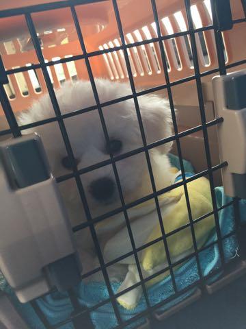ビションフリーゼフントヒュッテこいぬ画像ビションフリーゼ子犬社会化性格血統チャンピオン犬東京ビションメス関東かわいいビションおとこのこ文京区出産情報ビション募集_13.jpg