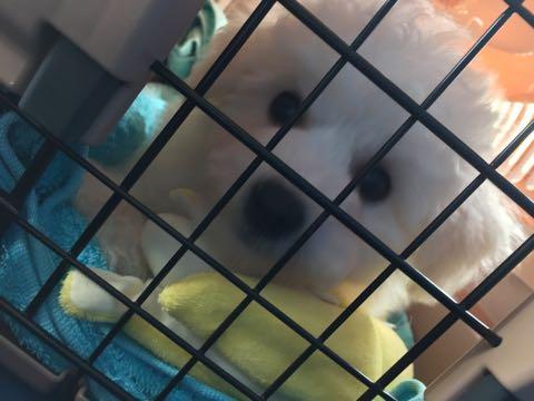 ビションフリーゼフントヒュッテこいぬ画像ビションフリーゼ子犬社会化性格血統チャンピオン犬東京ビションメス関東かわいいビションおとこのこ文京区出産情報ビション募集_14.jpg