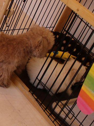 ビションフリーゼフントヒュッテこいぬ画像ビションフリーゼ子犬社会化性格血統チャンピオン犬東京ビションメス関東かわいいビションおとこのこ文京区出産情報ビション募集_43.jpg