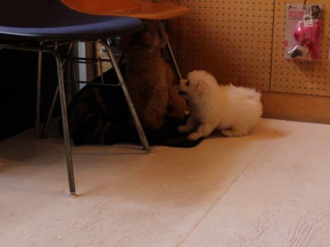ビションフリーゼフントヒュッテこいぬ画像ビションフリーゼ子犬社会化性格血統チャンピオン犬東京ビションメス関東かわいいビションおとこのこ文京区出産情報ビション募集_46.jpg