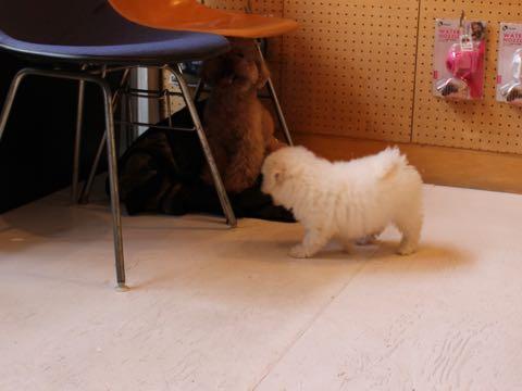 ビションフリーゼフントヒュッテこいぬ画像ビションフリーゼ子犬社会化性格血統チャンピオン犬東京ビションメス関東かわいいビションおとこのこ文京区出産情報ビション募集_48.jpg